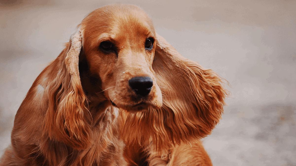dachshund mixed with cocker spaniel