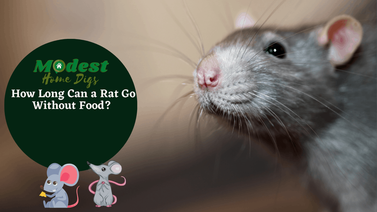 How Long Can a Rat Go Without Food?