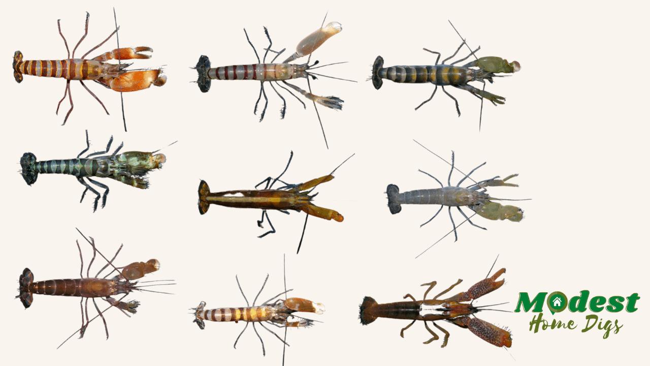 pistol shrimp guide