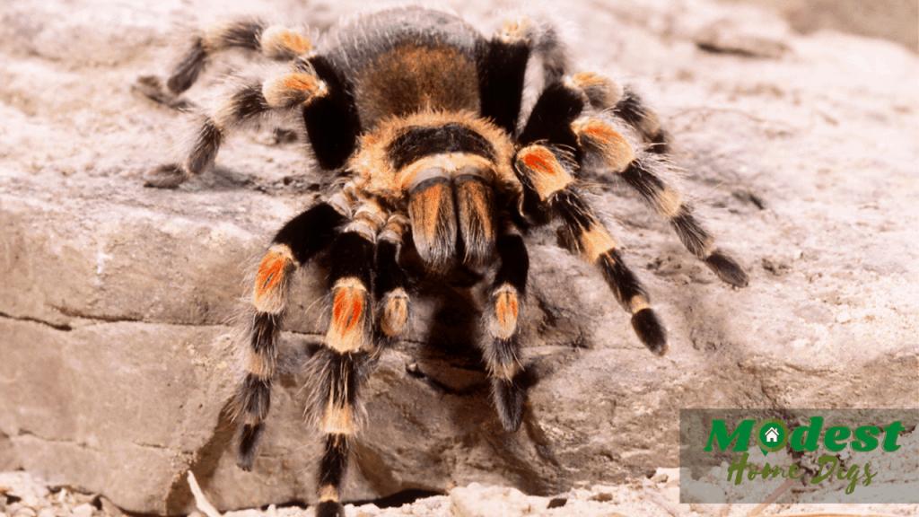 tarantula spider picture