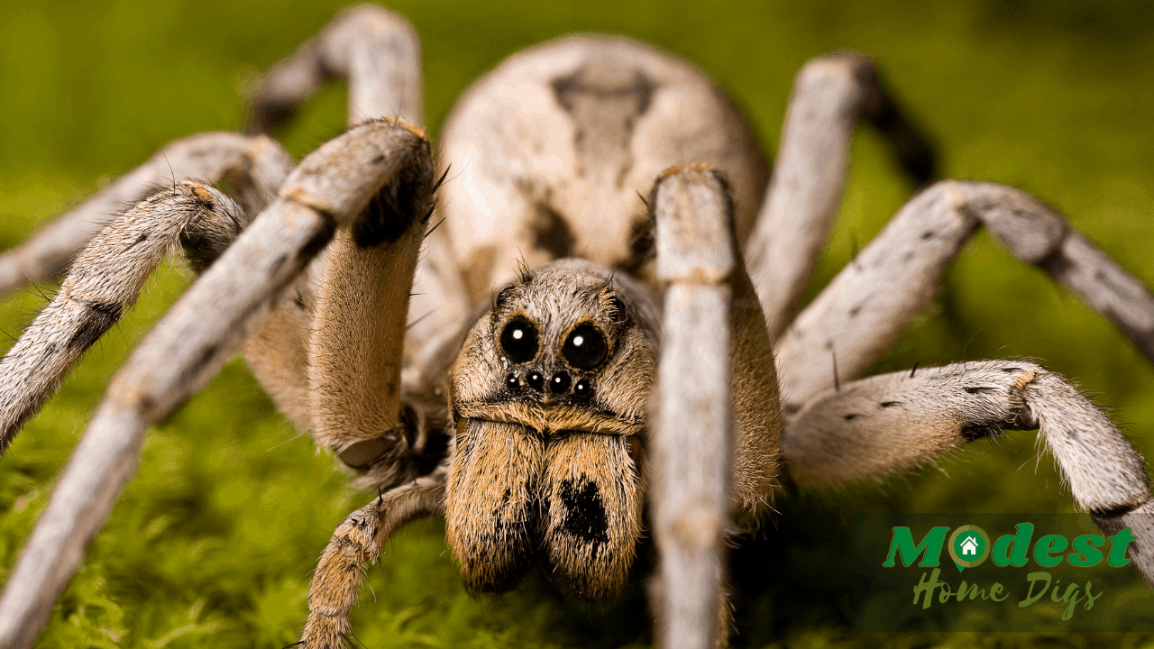 The Australian wolf spider profile( With Facts And Pictures)