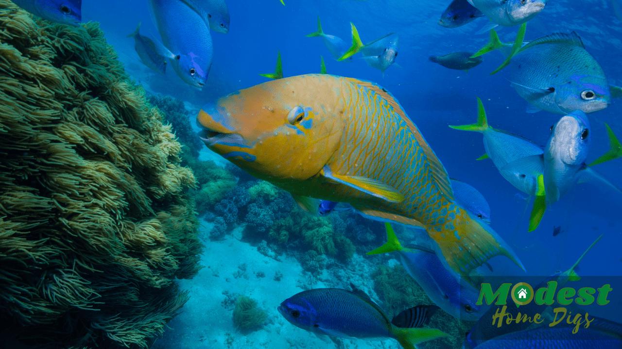 What Marine Vertebrate Eat Coralline Algae
