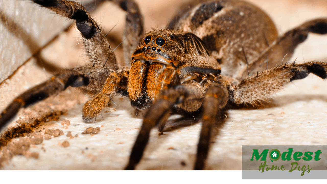 What happens if you kill a wolf spider with babies?