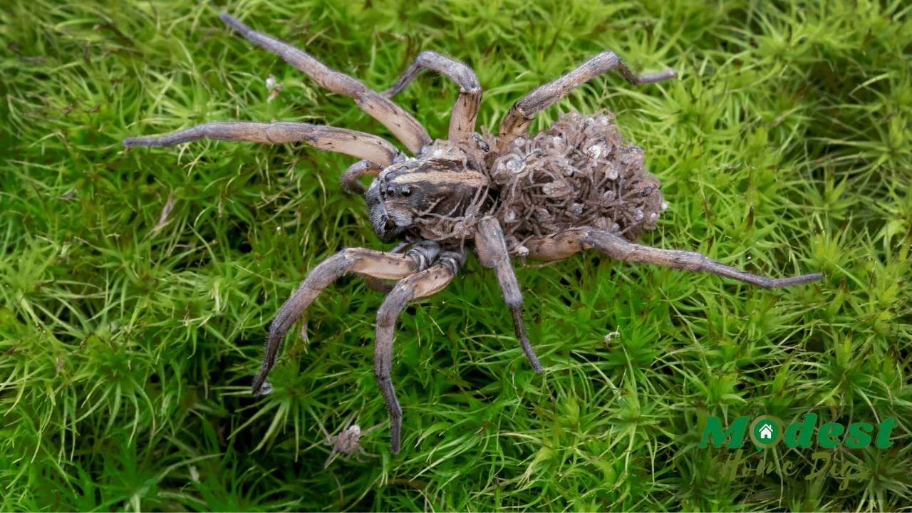 Why do Baby Spiders Stay on Their Mother?